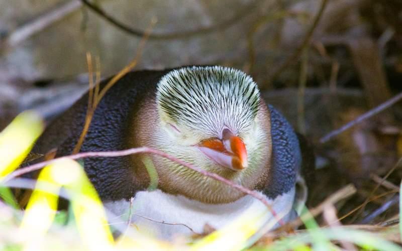 Penguin in New Zealand