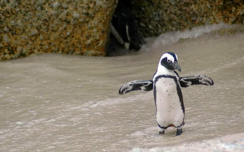 Magellan Penguin in Puerto Madryn, Argentina