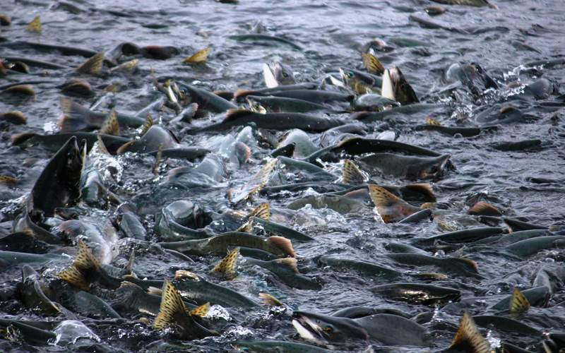 Salmon migration in Valdez, Alaska