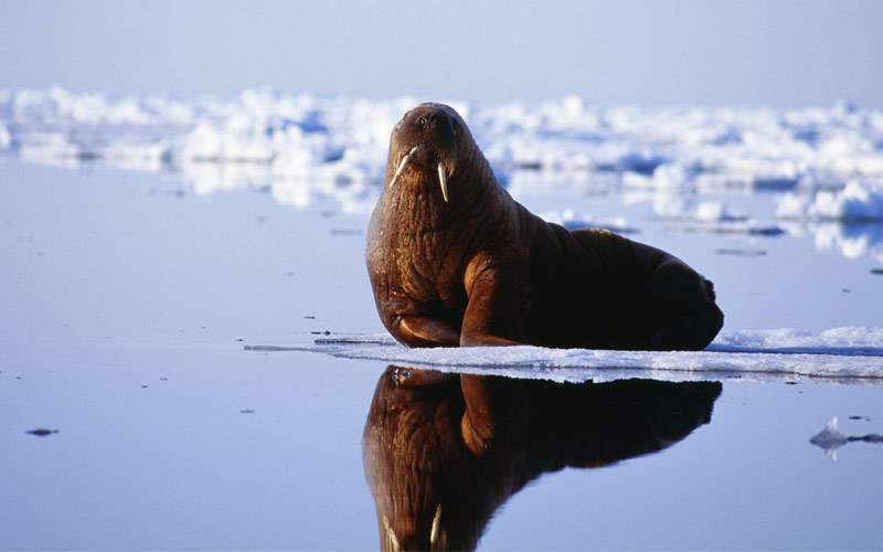 Walrus lying on beach in Greenland