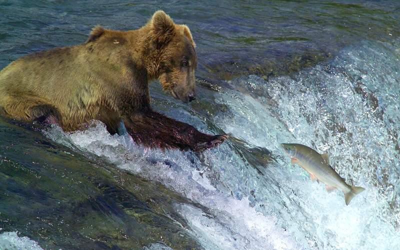 Bear Catching Salmon in Alaska