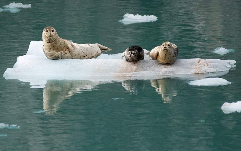Harbor Seals in Alaska