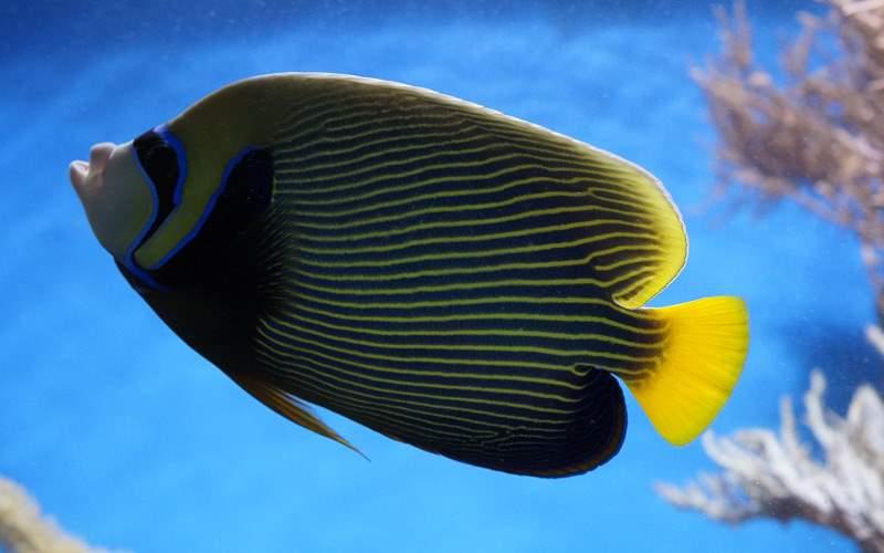 Angelfish in Caribbean - Windstar Cruises