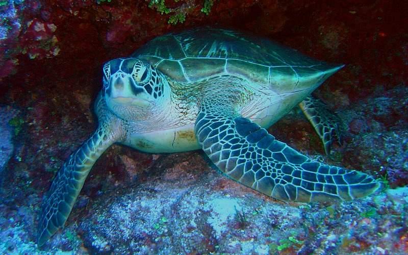 Sea Turtle - Windstar Cruises