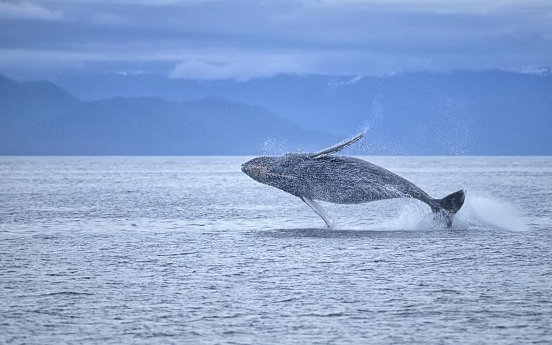 Whale Breaching Royal Caribbean Alaska Cruises