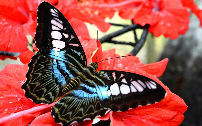 Bright Butterfly on Red Flowers Royal Caribbean