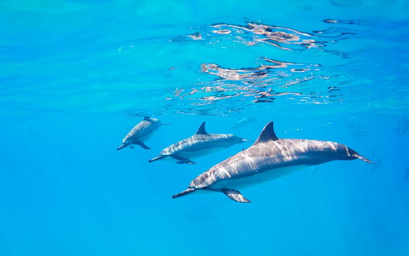 Dolphins swimming Hawaii Royal Caribbean