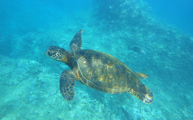 Sea turtle swimming Hawaii Royal Caribbean
