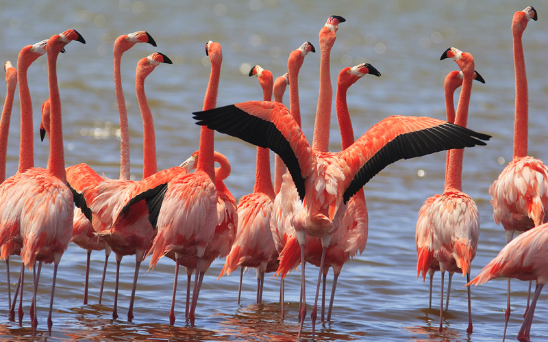Pink flamingos on the island of Bonaire reposition