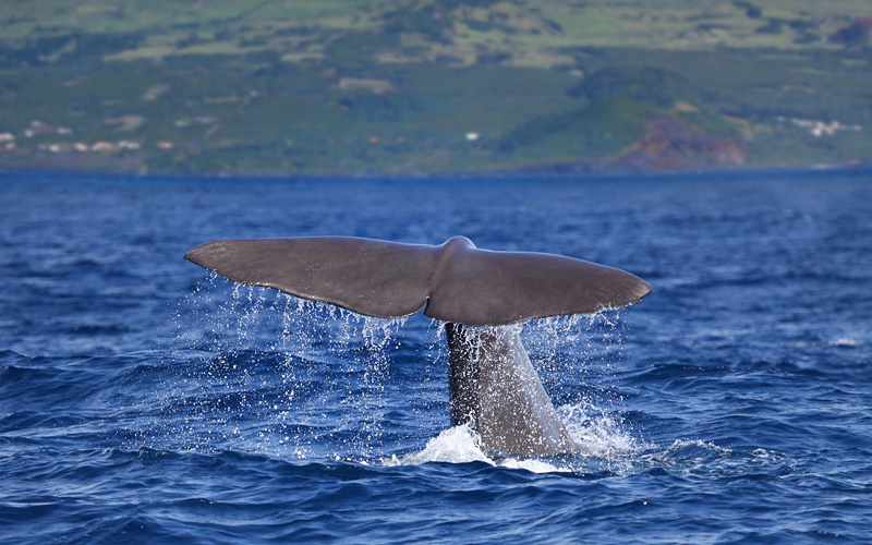 Sperm whale tail in Azores Royal Caribbean