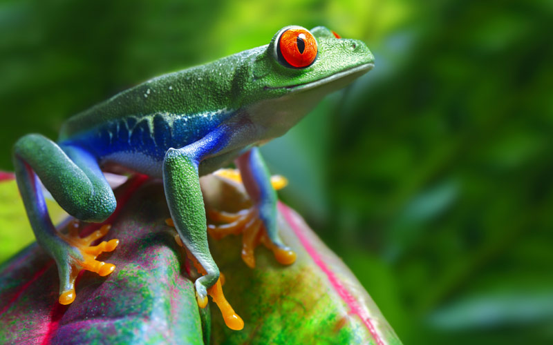 A colorful red eyed tree frog in South America