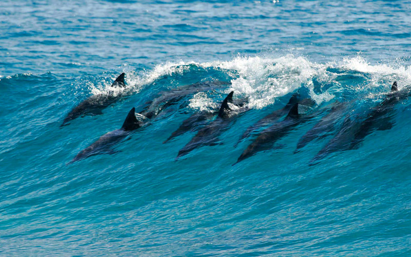 Pod of dolphins catch a wave in Mozambique Africa