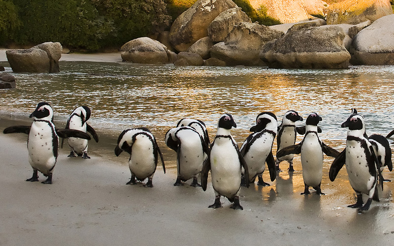 African Penguins on Boulders Beach Cape Town Aouth