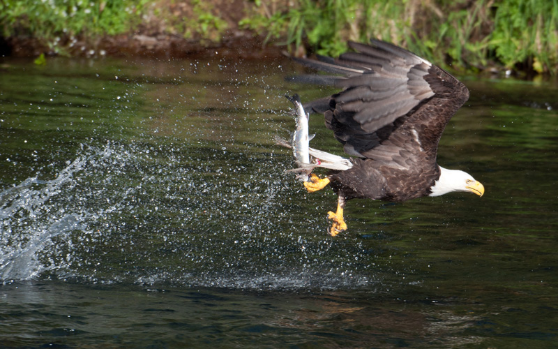 Bald eagle in Katmai National Park catching salmon