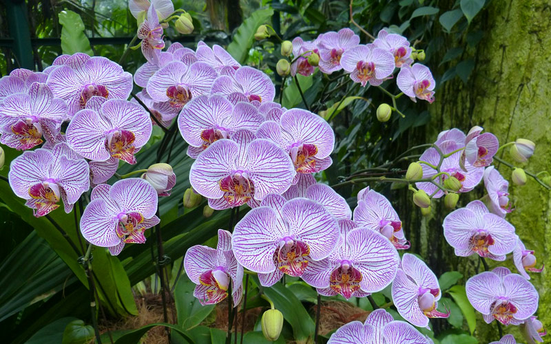 Purple orchid in Singapore