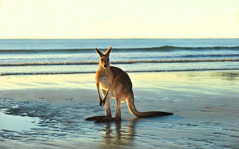 Australian Eastern Grey Kangaroo on beach in Austr