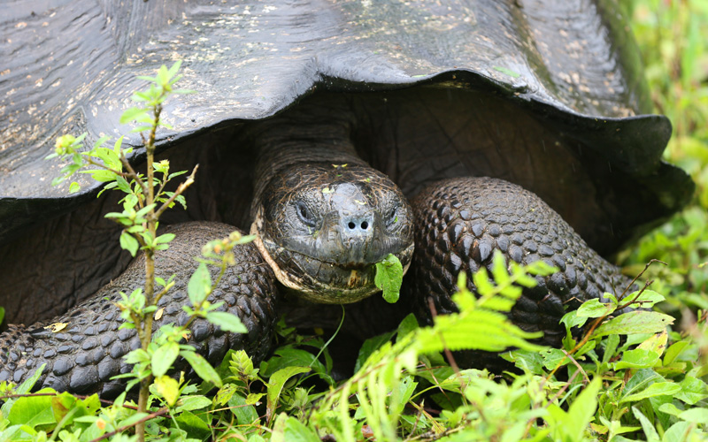 Giant tortoise in Ecuador Avalon Waterways