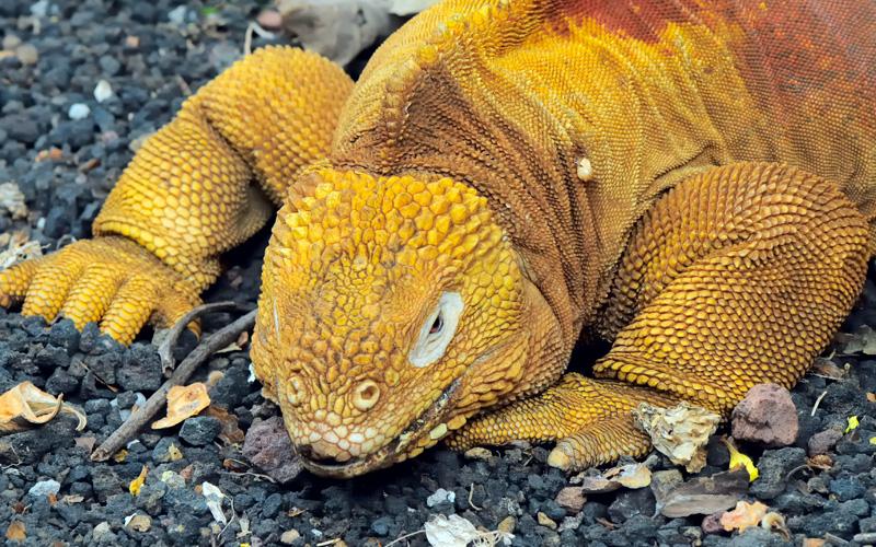 land iguana Avalon Waterways