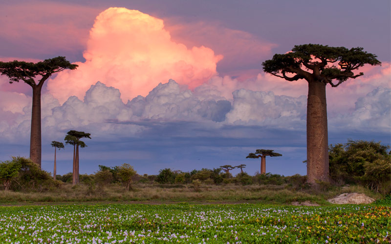 Baobab Alley Madagascar pink sunset in Africa 2