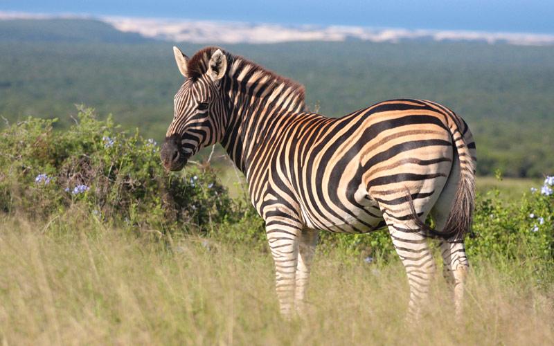 Burchells Zebra in the Addo Elephant Park Africa