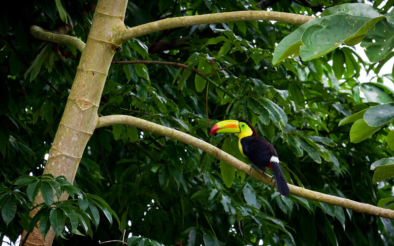 Toucan in Belize rainforest Carnival Cruises