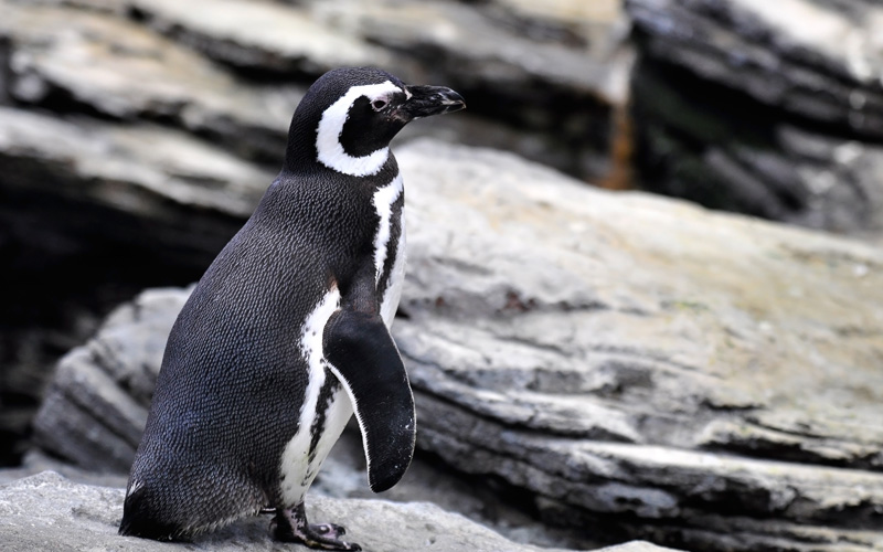 Celebrity South America Cruisetours Penguin