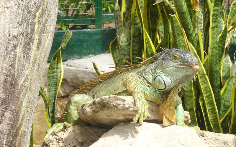 Iguana at the Zoo Celebrity Cruises Bahamas