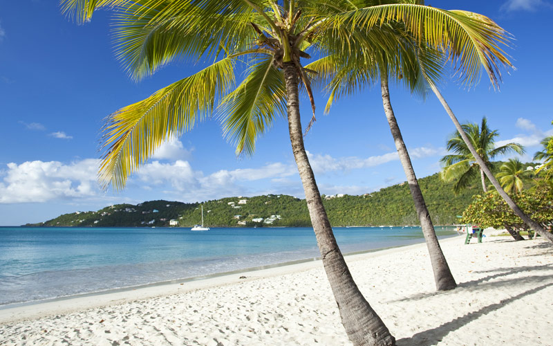 Coconut Palms along Magens Bay Beach on St. Thomas