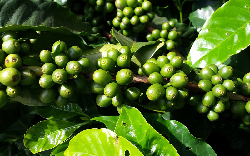 Green Coffee Beans from Costa Rica