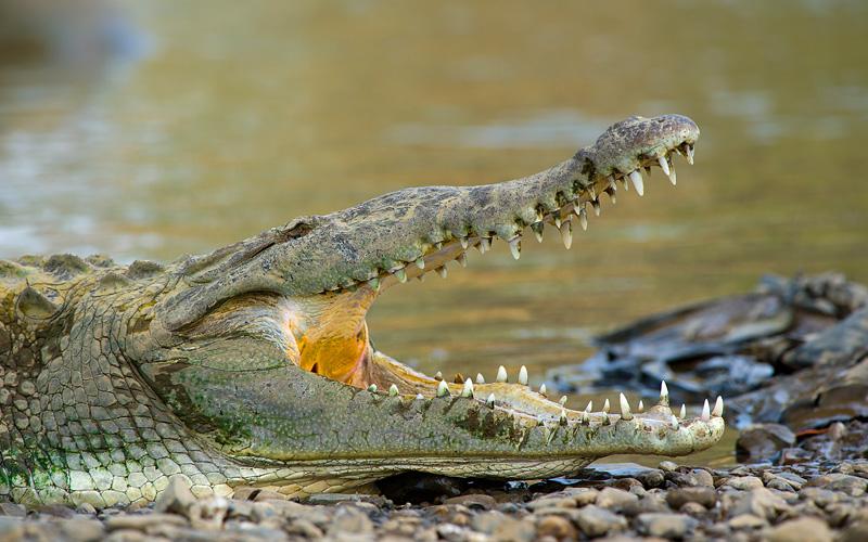 American Crocodile Tarcoles River Crystal Cruises