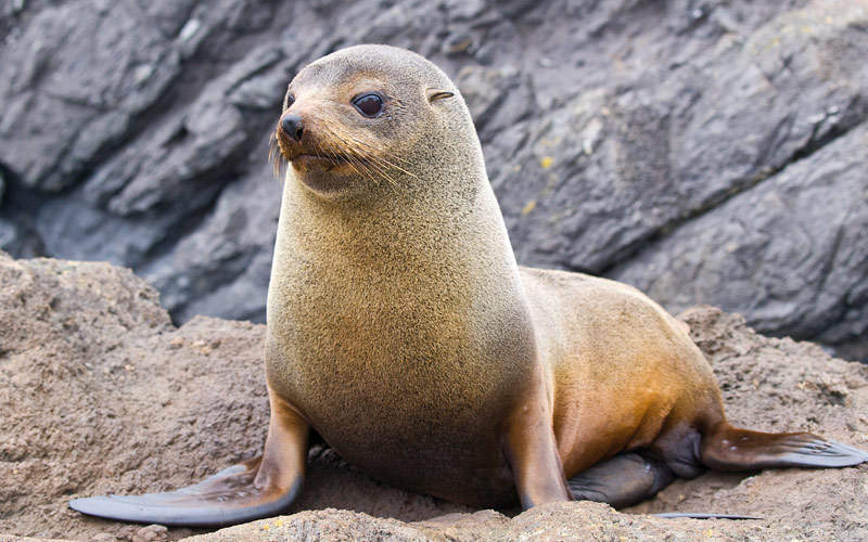 Fur seal in New Zealand Crystal Cruises Australia