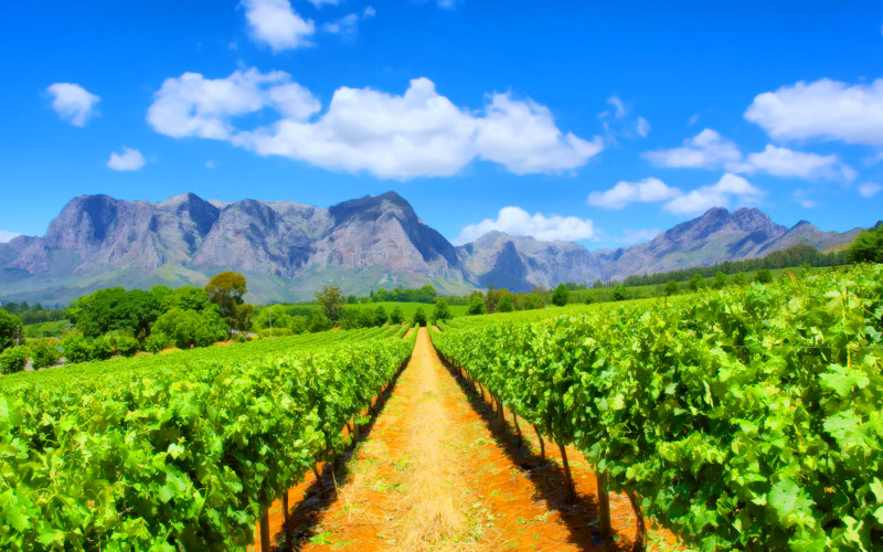 Vineyard in South Africa Crystal Cruises