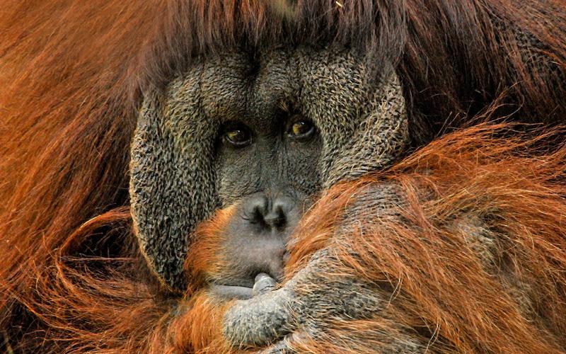 Orangutan in Malaysia - Cunard Line