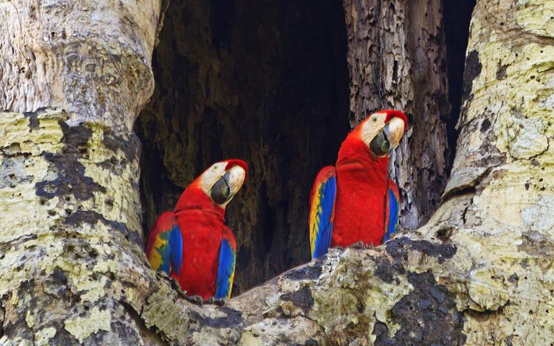 Scarlet Macaw National Park Costa Rica Cunard Line