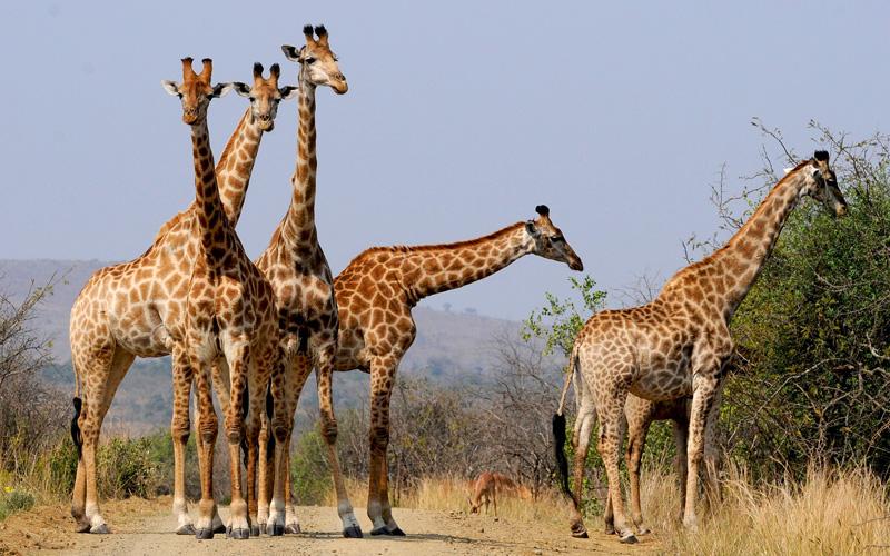 Giraffes in South Africa - Cunard Line
