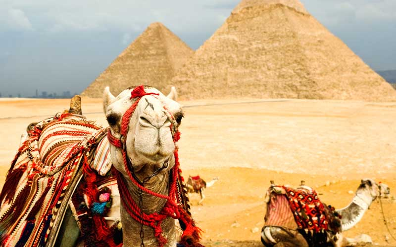 Camels near Pyramids in Egypt