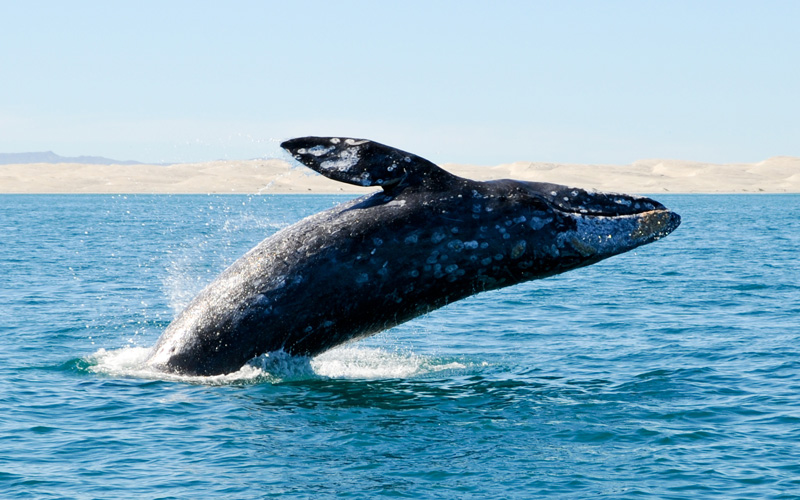 Gray whale breaching in Pacific Ocean near Mexico
