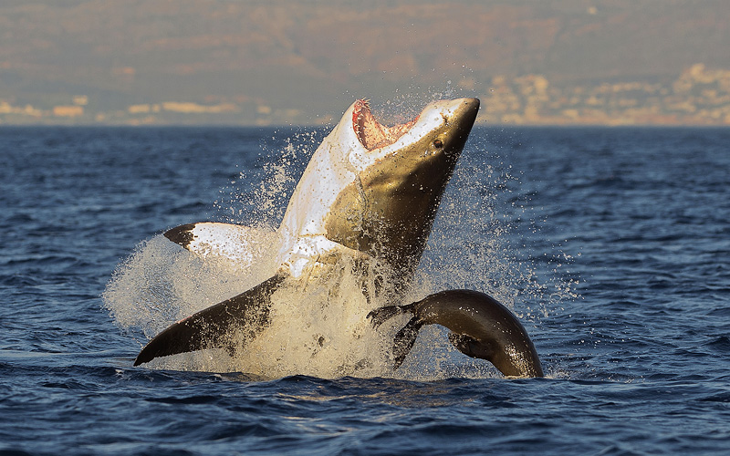 Great White Shark breaching South Africa