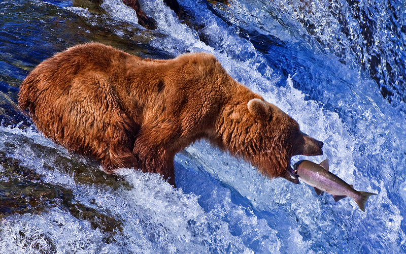 Grizzly bear fishing for fresh fish in Alaska