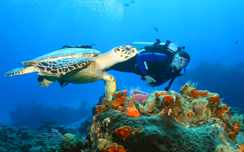 Hawksbill Turle diver Cozumel Mexico