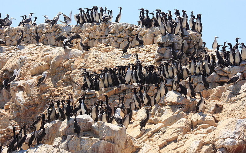 Ballestas Islands seabirds, Peru Holland America