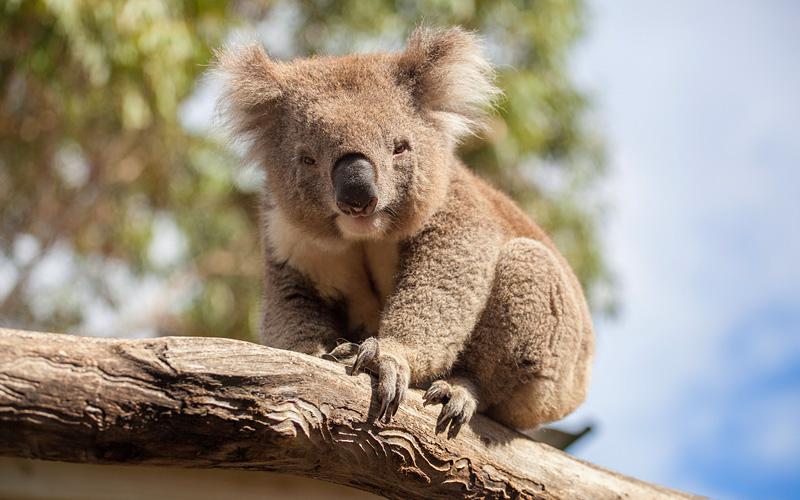 koala resting on branch Australia Holland America