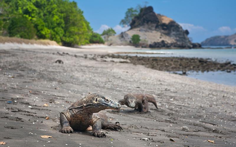 Komodo dragons in Indonesia Holland America