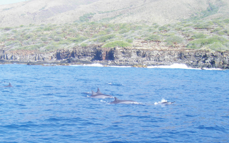 Dolphins swimming in Maui