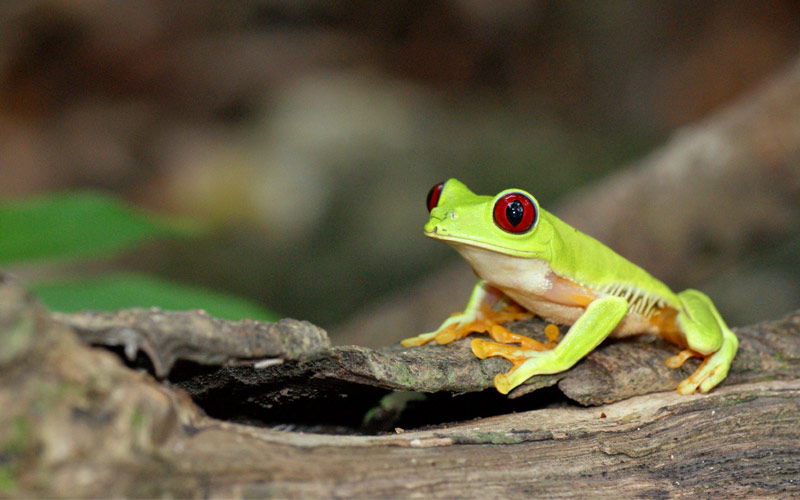 Red eyed tree frog in Puntarenas, Costa Rica