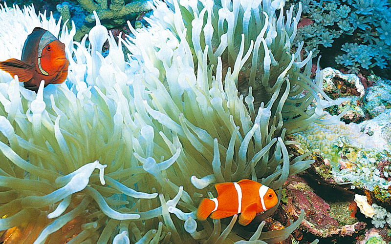 Coral reef full of clown fish
