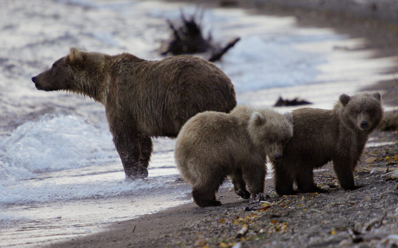 Alaska is home to many bears and their cubs