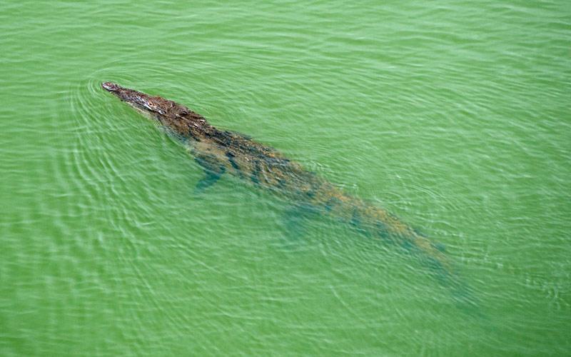The Panama Canal is home to crocodiles