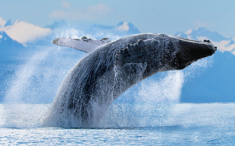 A humpback whale shows itself in the Alaskan water