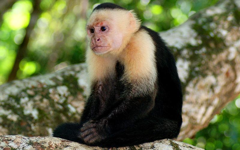 Capuchin Monkey Panama Canal Norwegian Cruise